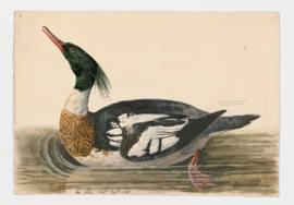 Red-breasted merganser [male]