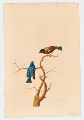 Nonpareil; painted Bunting [male]