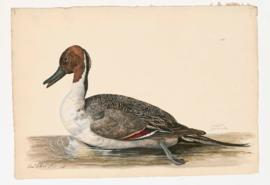 Pintail [male]