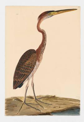 Purple Heron, immature