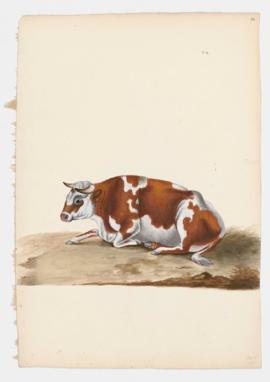 Common Cattle, female