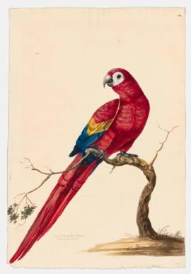Small red and blue macaw