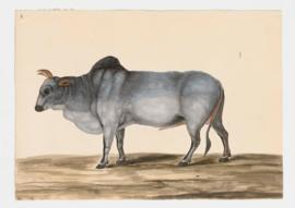 Common Cattle (Zebu variety), male