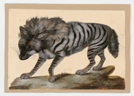 Striped Hyena [male]