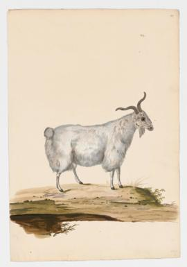 Domestic Goat, female