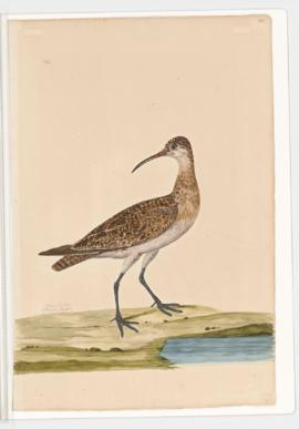 Least curlew
