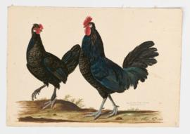 Domestic Fowl [male] & [female] Spanish