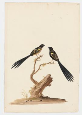 Yellow-mantled Widowbird, Yellow-shouldered Widowbird
