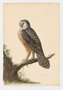 European Hawk Owl