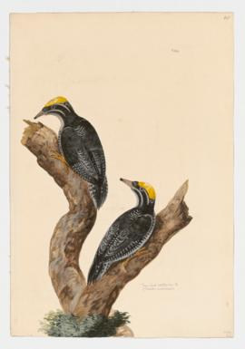 Three-toed Woodpeckers [male]