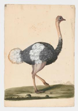 Southern Ostrich [male]