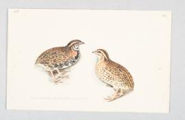 Rain, or Black-breasted quail (Coturnix coromandelica)