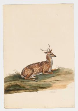 Spotted Deer [male]