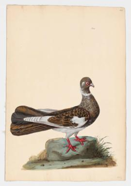 Rock Dove, Rock Pigeon. Swift