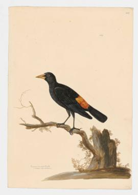 Crimson-rumped Oriole