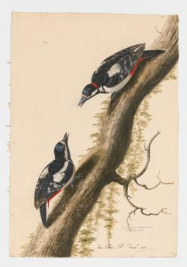 Great Spoted Woodpecker male and [female]