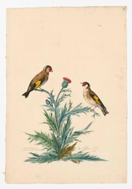 British Goldfinch