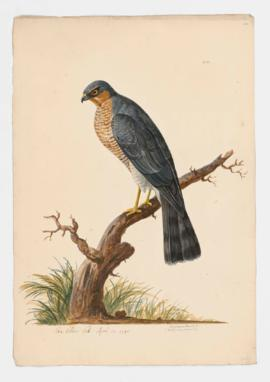 Sparrow-Hawk [male]