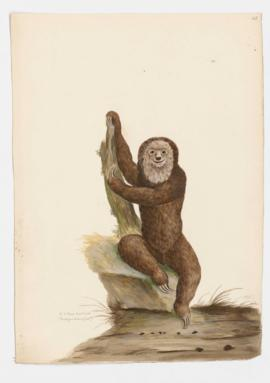 Ai or Three-toed Sloth