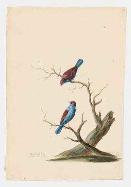 Blue-bellied finch