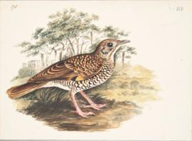 Scaly, or White's thrush (Zoothera dauma)