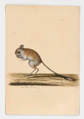Greater Egyptian Jerboa