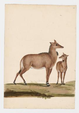 Nilgai [female] and young
