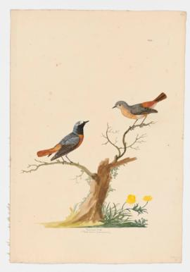 Redstart [male]&[female]