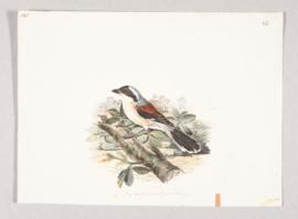 Bay-backed shrike (Lanius vittatus)