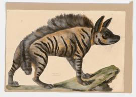 Striped Hyena [female]