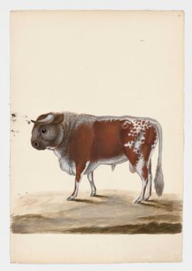 Common Cattle, male