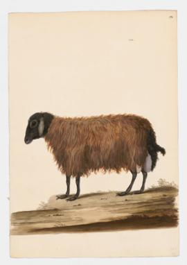 Domestic Sheep (Broad Fat-Tailed)