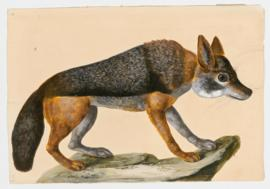 Common Jackal