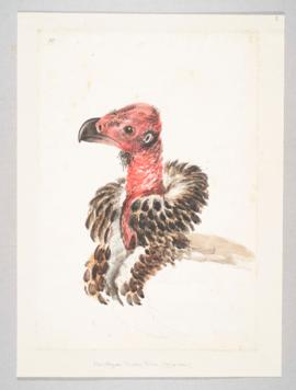 Indian, black, red-headed or Pondicherry vulture (Sarcogyps calvus)
