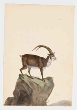 Domestic Goat, male