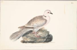 Ringed turtle-dove (Streptopelia risoria)