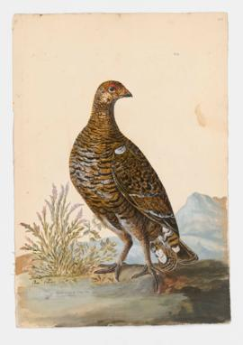 Black Grouse [female] (Grey-hen)