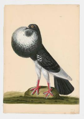 Rock Dove, Rock Pigeon. English Powter/Pouter