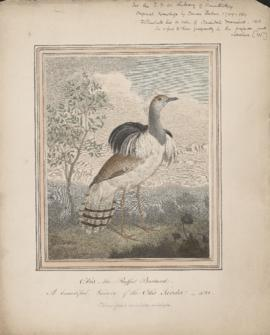 Otis the Ruffed Bustard