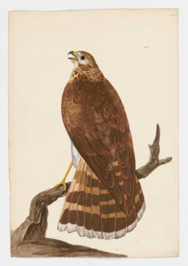 Northern Goshawk, immature