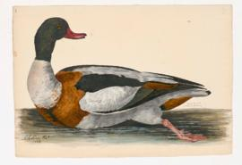 Sheld-Duck [male]