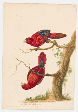 The Parrot of Borneo