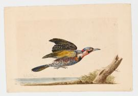 Southern Flicker