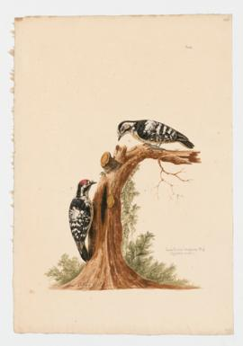 Lesser spotted Woodpecker [male] & [female]