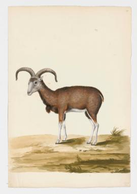 Urial (Mouflon), female
