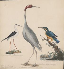 Black-winged Stilt, Common Kingfisher, and Sarus Crane