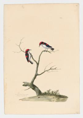 Scarlet backed Flower-pecker