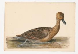 Pintail [female]