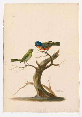 Painted Bunting [male] & [female]