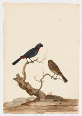 Greater Antillean Bullfinch, male and female